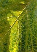 Grape Leaf Photo Prints - Photosynthesis In Progress Print by Everett Bowers