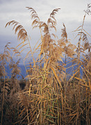 Reed Bed Prints - Phragmites Australis Print by Bob Gibbons
