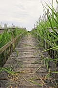 Hamptons Photos - Phragmites Pathway by Tim Doubrava