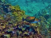 Hawaii Photos - Picasso Triggerfish by Bette Phelan
