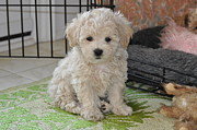 Maltese Dogs Photos - Pick A Puppy by Lisa  DiFruscio
