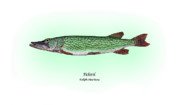 Gamefish Framed Prints - Pickerel Framed Print by Ralph Martens