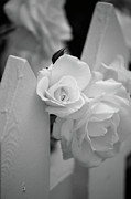 White Rose Photos - Picket Rose by Peter Tellone