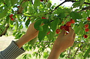 Healthy Children Posters - Picking cherries from tree Poster by Sami Sarkis
