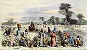 Cotton Picking Posters - Picking Cotton, 1867 Poster by Granger