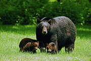 Black Bear Cubs Prints - Picnic Crashers Print by Lori Tambakis