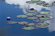 Little Birds Prints - Picturesque Water Lily Pads And Flowers Print by Jason Edwards