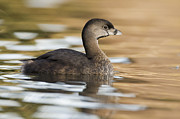 Adult Plumage Framed Prints - Pied Billed Grebe In Breeding Plumage Framed Print by Sebastian Kennerknecht