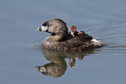 Jim Cumming Prints - Pied-Billed Grebe Print by Jim Cumming