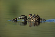 Educating Prints - Pied Billed Grebe Parent With Two Print by Tim Fitzharris