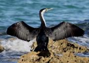 Cormorant Photos - Pied Cormorant by Tony Brown
