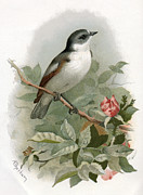 Flycatcher Posters - Pied Flycatcher, Historical Artwork Poster by Sheila Terry