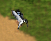 Hunting Bird Prints - Pied Kingfisher Print by Tony Beck