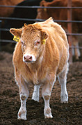 Piedmontese-hereford Crossbred Calf Print by Science Source