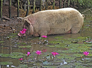 Nymphaea Framed Prints - Pig Drinking Framed Print by Bjorn Svensson