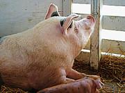Pig Enjoying The Sun Print by Susan Savad