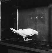 Pigeon Prints - Pigeon In Skinner Box Print by Photo Researchers, Inc.