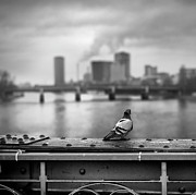 Focus On Foreground Art - Pigeon Sitting Overlooking Frankfurt by Elisabeth Schmitt