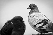 Pigeon Prints - Pigeon Staring Contest Print by Shutter Happens Photography