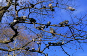 Flocks Of Birds Prints - Pigeons perching in a tree together Print by Sami Sarkis