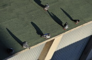 Flock Of Bird Art - Pigeons sunbathing by Sami Sarkis