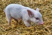 Livestock Art - Piglet by Michelle Calkins