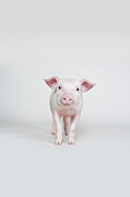 Colored Background Photos - Piglet, Studio Shot by Paul Hudson