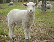Sheep Photos - Piglet by Warren Sarle
