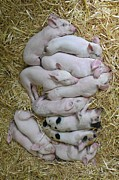 Hay Acrylic Prints - Piglets Acrylic Print by Rebecca Richardson