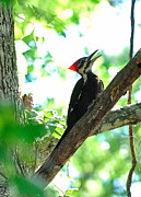 Pilated Woodpecker With Firey Knot Print by Wayne Nielsen
