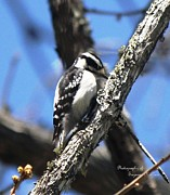 Signed Digital Art Posters - Pile Driver-Downy Woodpecker Poster by Suzanne  McClain