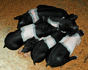 North America Photos - Pile of Piglets by LeeAnn McLaneGoetz McLaneGoetzStudioLLCcom