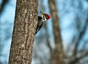 Pileated Photos - Pileated Billed Woodpecker Pecking 2 by Douglas Barnett