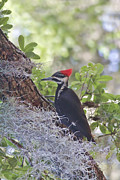 Pileated Woodpecker Prints - Pileated In The Moss Print by Deborah Benoit