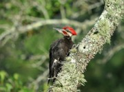 Woodpeckers Posters - Pileated Perch Poster by Al Powell Photography USA