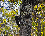 Pileated Woodpecker Posters - Pileated Woodpecker Poster by Al Powell Photography USA