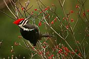 Woodpecker Posters - Pileated Woodpecker Poster by Alan Lenk