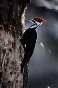 Pileated Woodpeckers Prints - Pileated Woodpecker Dryocopus Pileatus Print by Bates Littlehales
