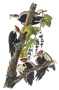 Lithograph Framed Prints - Pileated Woodpecker Framed Print by John James Audubon