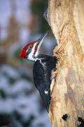 Pileated Woodpeckers Prints - Pileated Woodpecker Print by Natural Selection William Banaszewski