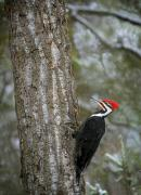 Pileated Woodpeckers Framed Prints - Pileated Woodpecker Framed Print by Richard Wear