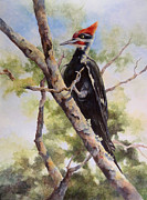 Redhead Drawings Posters - Pileated Woodpecker Poster by Sherry Egger