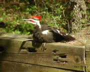 Pileated Woodpecker Photos - Pileated Woodpecker1 by Torie Tiffany