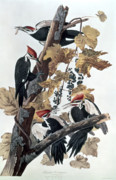 Leaves Posters - Pileated Woodpeckers Poster by John James Audubon