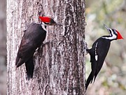 Pileated Woodpeckers Photos - Pileated woodpeckers young by David Campione
