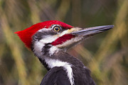 Pileated Framed Prints - Pileated Woody Framed Print by Michel Soucy