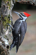 Pileated Woodpecker Posters - Pileated Woopecker  Female Poster by Alan Lenk