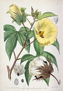 Boll Prints - Pima Cotton Flowers, 19th Century Print by King