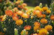 Pin Cushion Prints - Pin Cushion Protea Bush Print by Ron Dahlquist - Printscapes