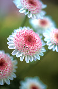 Flower Greeting Prints - Pincushion Flowers Print by Kathy Yates